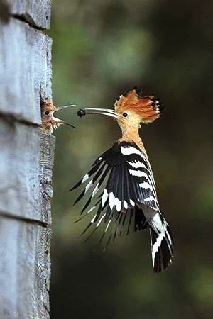 Woodpecker feeding her child at Chilapata