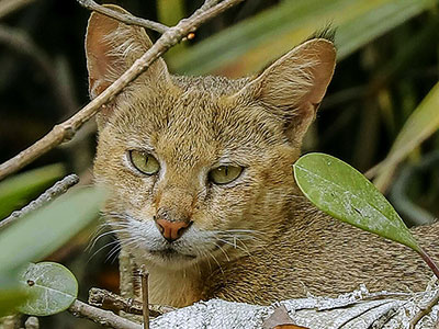 Wild cat at Chilapata forest